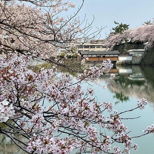 福井市の桜